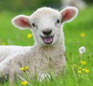 lamb-in-the-grass-567099
